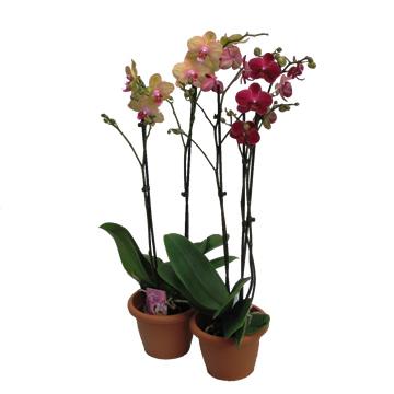 Planta De Interior - Planta Interior Flor - ORQUIDEA 2VARAS ENAMORADOS M12