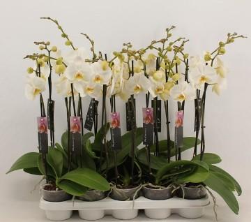 Planta De Interior - Planta Interior Flor - Orquidea 3 Varas  Blanca  M12