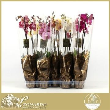 Planta De Interior - Planta Interior Flor - Orquidea 2 Varas Leonardo Maceta 12cm