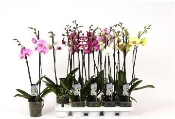 Planta De Interior - Planta Interior Flor - Orquidea 2 Varas Mix Maceta 12cm