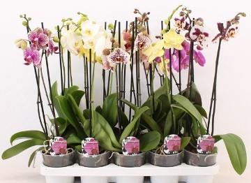 Planta De Interior - Planta Interior Flor - Orquidea 2 Varas Maceta 12cm