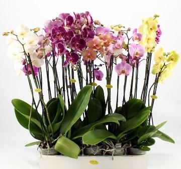 Planta De Interior - Planta Interior Flor - Orquidea 3 Tallos Mix Maceta 12cm