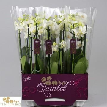 Planta De Interior - Planta Interior Flor - Orquidea 4 Varas  Blanca  M12