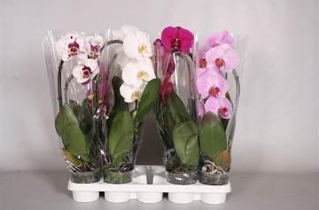 Planta De Interior - Planta Interior Flor - Orquidea Elegant Cascade 1 Vara M12