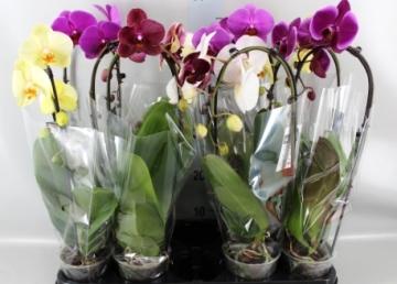 Planta De Interior - Planta Interior Flor - ORQUIDEA ELEGANT CASCADE 1V M12