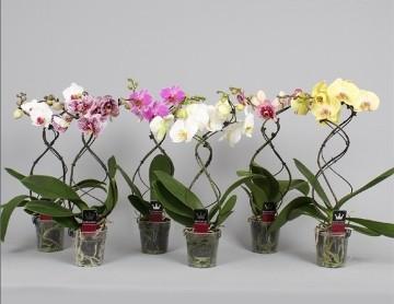 Planta De Interior - Planta Interior Flor - Orquidea Forma Espiral 2 Varas Maceta 12cm