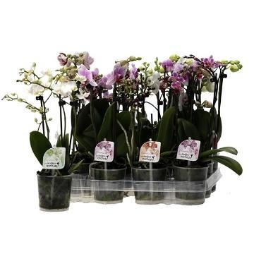 Planta De Interior - Planta Interior Flor - Orquidea 3 Varas Kolibri Maceta 9cm