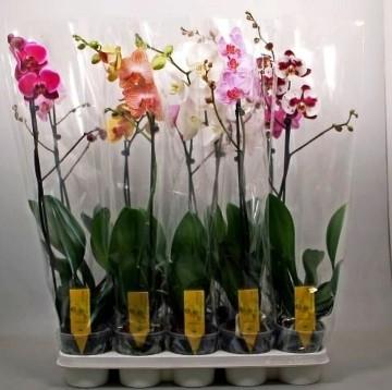 Planta De Interior - Planta Interior Flor - Orquideas Variadas 1 Tallo Maceta 12cm