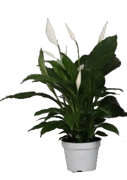 Planta De Interior - Planta Interior Flor - Spatiphyllum Maceta 13cm