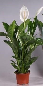 Planta De Interior - Planta Interior Flor - Spatiphyllum M17
