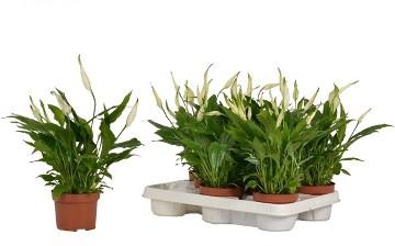 Planta De Interior - Planta Interior Flor - Spathiphyllum Chopin Maceta 10,5cm Alto 25cm