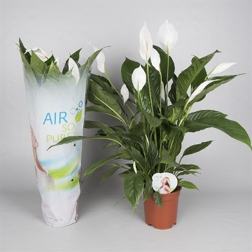 Planta De Interior - Planta Interior Flor - Spathiphyllum Vivaldi Maceta 17cm Alto 65cm