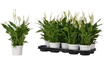 Planta De Interior - Planta Interior Flor - Spatiphyllum Bellini Maceta 13cm