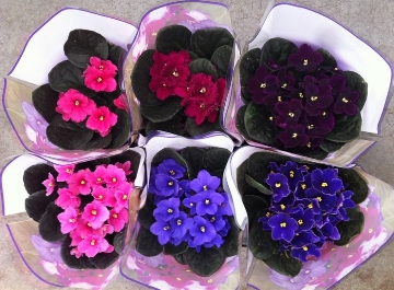 Planta De Interior - Planta Interior Flor - Violeta Africana Maceta 12cm