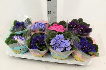 Planta De Interior - Planta Interior Flor - Violeta Maceta 12cm