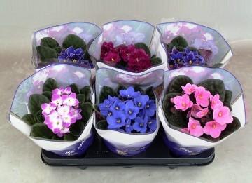 Planta De Interior - Planta Interior Flor - Violeta Africana Spectra Mix Maceta 12cm
