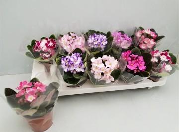 Planta De Interior - Planta Interior Flor - Violeta Africana Mezcla Maceta 9cm