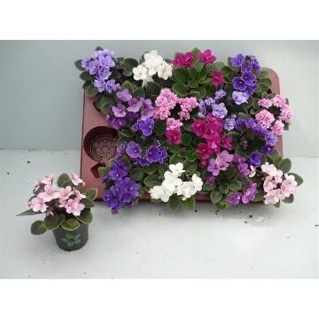 Planta De Interior - Planta Interior Flor - Violeta Africana Mini Maceta 7cm