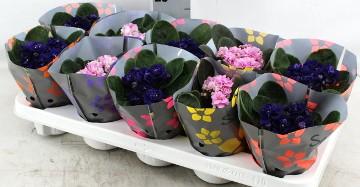 Planta De Interior - Planta Interior Flor - Violeta Africana Mezcla Maceta 10cm