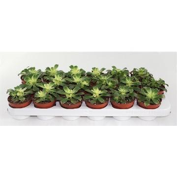 Planta De Interior - Todas - Aeonium Tricolor Kiwi Maceta 8,5cm