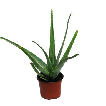 Planta De Interior - Cactus Y Crasas - Aloe Vera Maceta 15cm