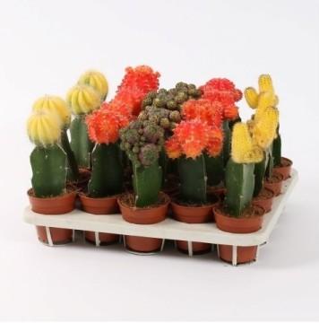 Planta De Interior - Cactus Y Crasas - Cactus Injertado Maceta 5.5cm