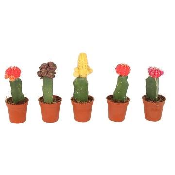 Planta De Interior - Todas - Cactus Injertado Maceta 5.5cm