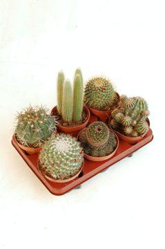 Planta De Interior - Todas - Cactus Y Crasas Variados C13