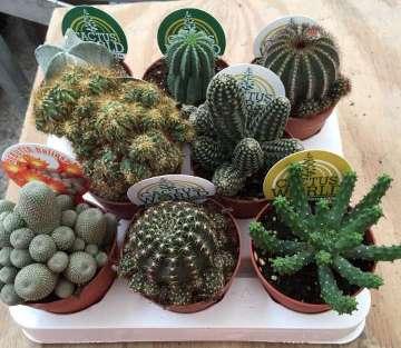 Planta De Interior - Cactus Y Crasas - Cactus Variados Maceta 8,5cm