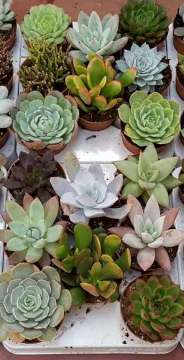 Planta De Interior - Cactus Y Crasas - Crasas Variadas  Maceta 8,5cm