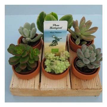Planta De Interior - Cactus Y Crasas - Crasas Mix Mini Pallet 6uds