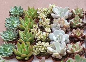 Planta De Interior - Todas - Cactus Y Crasas  Maceta 5,5cm Variados