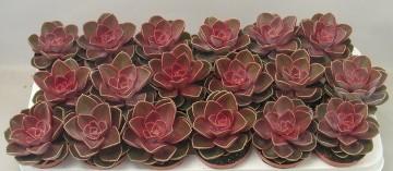 Planta De Interior - Todas - Echeveria Magic Red Maceta10.5cm