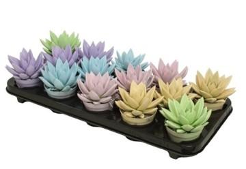Planta De Interior - Todas - Echeveria Miranda Colores Pastel M8,5