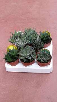 Planta De Interior - Cactus Y Crasas - Hawortia Fasciata Maceta 8,5cm