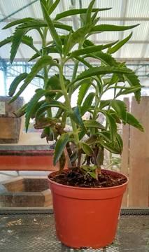 Planta De Interior - Cactus Y Crasas - Kalanchoe Daigremontiana Maceta 16cm