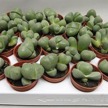 Planta De Interior - Cactus Y Crasas - Lithops O Cactus Piedra Maceta 5,5cm