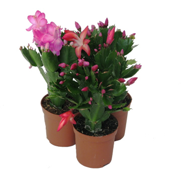 Planta De Interior - Todas - Schlumbergera Tres Colores Maceta 9cm