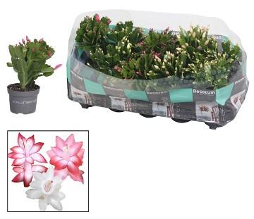 Planta De Interior - Cactus Y Crasas - Ripsalis M10
