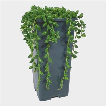 Planta De Interior - Cactus Y Crasas - Senecio Herreianus Maceta 14cm