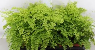 Planta De Interior - Helechos - Adiantum Maceta 12cm