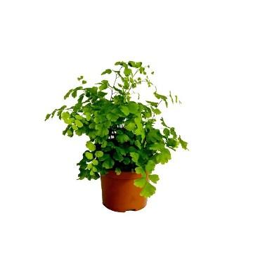 Planta De Interior - Helechos - Adiantum Fragrans Maceta 8,5cm