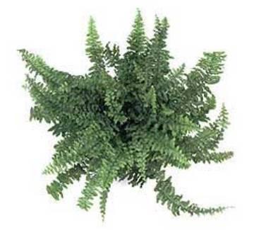 Planta De Interior - Todas - Helecho Cordata Maceta15cm