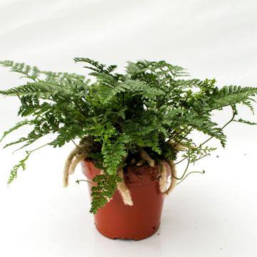 Planta De Interior - Helechos - Humata Tykermani Maceta 1,6l Pata De Conejo
