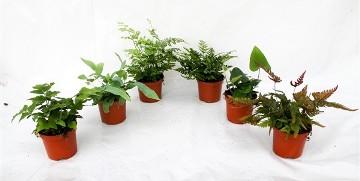 Planta De Interior - Helechos - Helechos Variados Maceta 8.5cm
