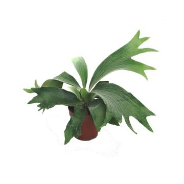 Planta De Interior - Helechos - Platycerium M15