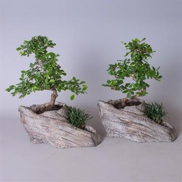 Planta De Interior - Planta Interior Hoja - Bonsai Maceta Rock