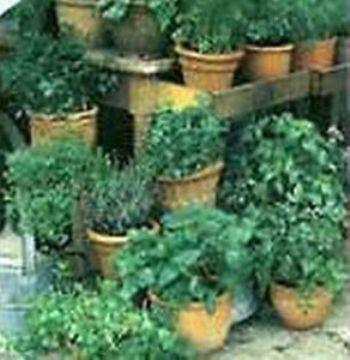Semillas Ecologicas - Semillas Ecologicas - Semillas Aromaticas Ecologicas